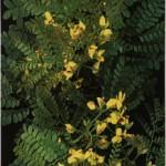 pernambuco_leaf