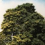 pernambuco_tree